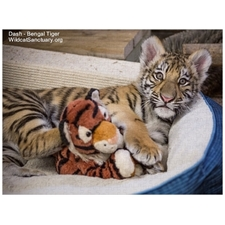 Tiger cub Dash with toy and photo box